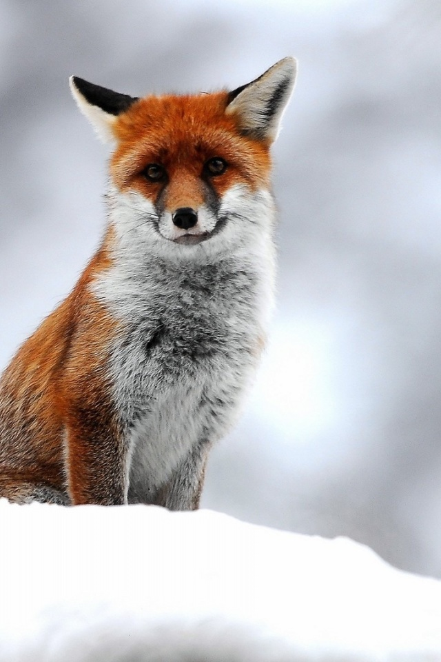640x960 cute small fox iphone 4 wallpaper