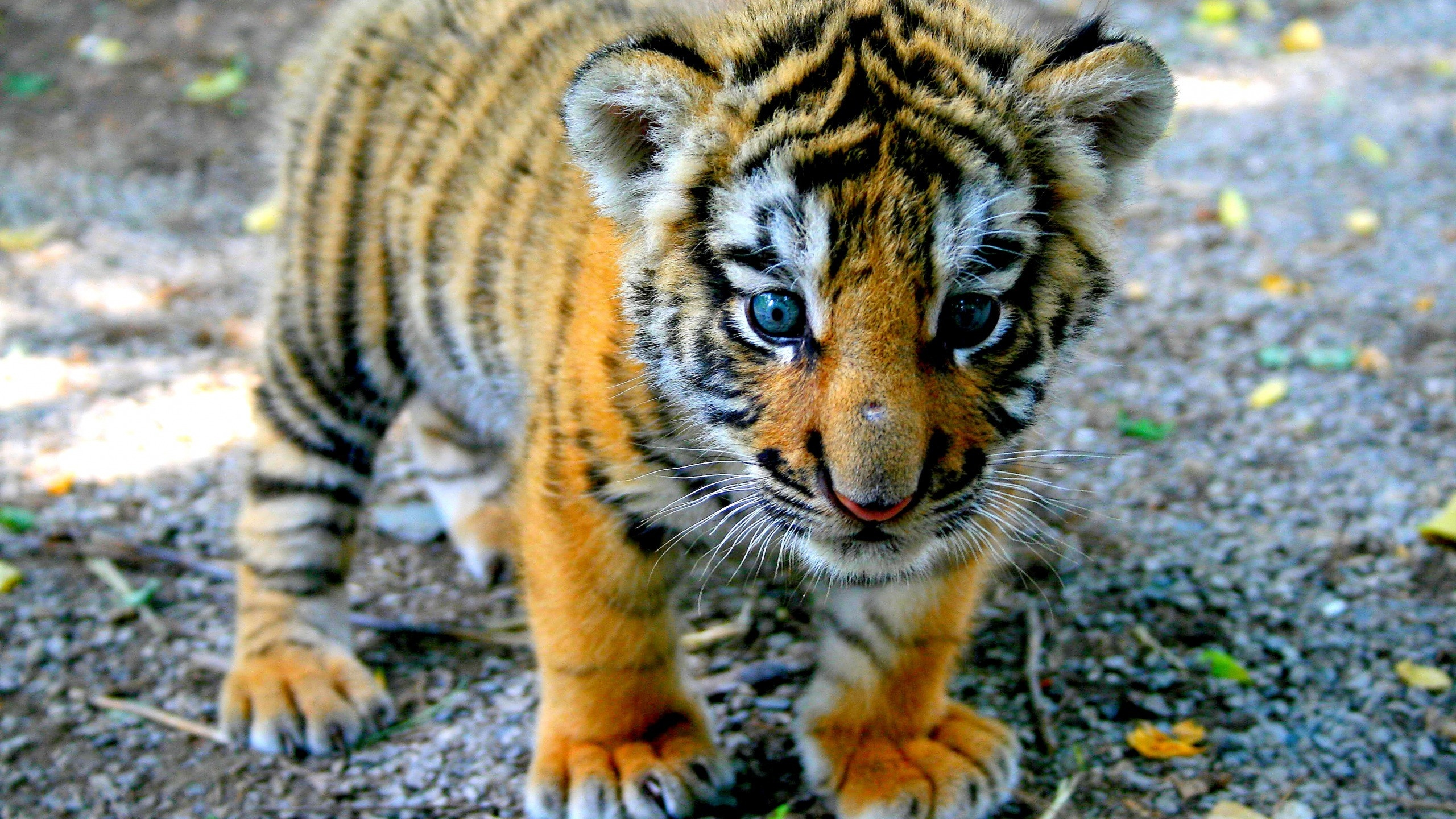 Cute Baby Tiger wallpaper - 1220194