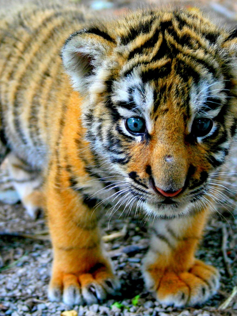 768x1024 cute tiger cub ipad wallpaper thecheapjerseys Image collections
