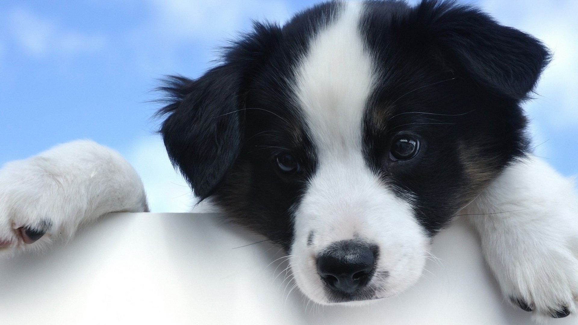 1920x1080 Cute White And Black Puppy Desktop Pc And Mac Wallpaper