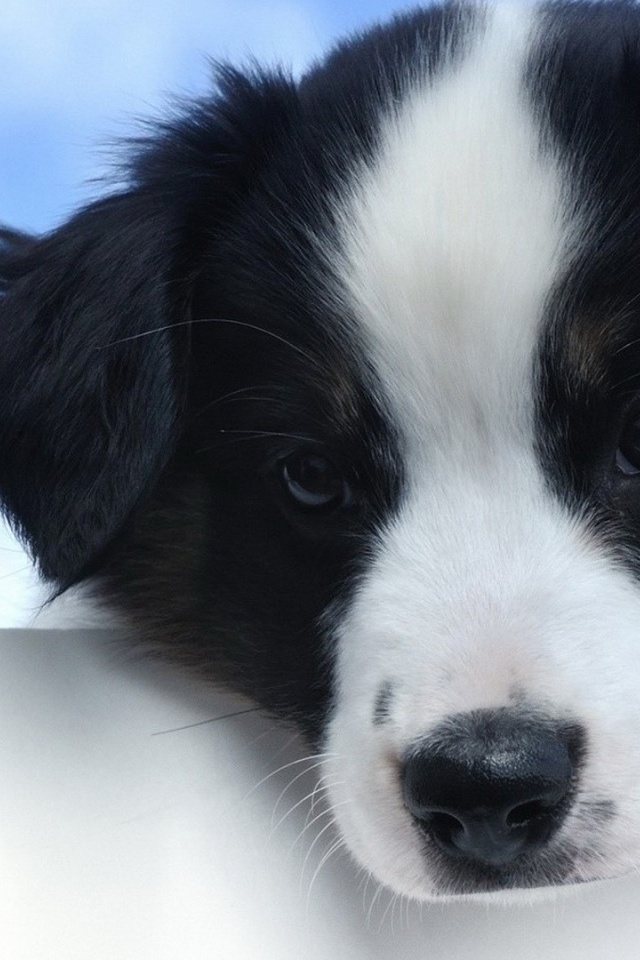 640x960 Cute White And Black Puppy Iphone 4 Wallpaper
