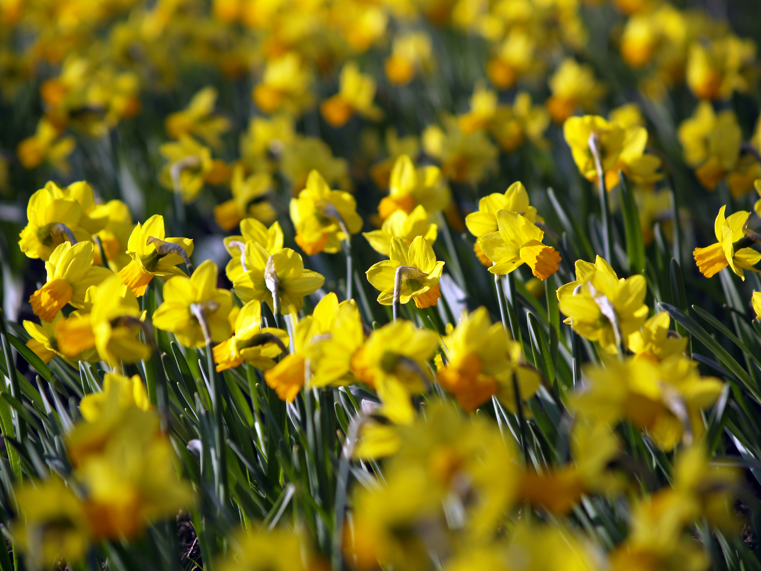 daffodil wallpapers | daffodil stock photos