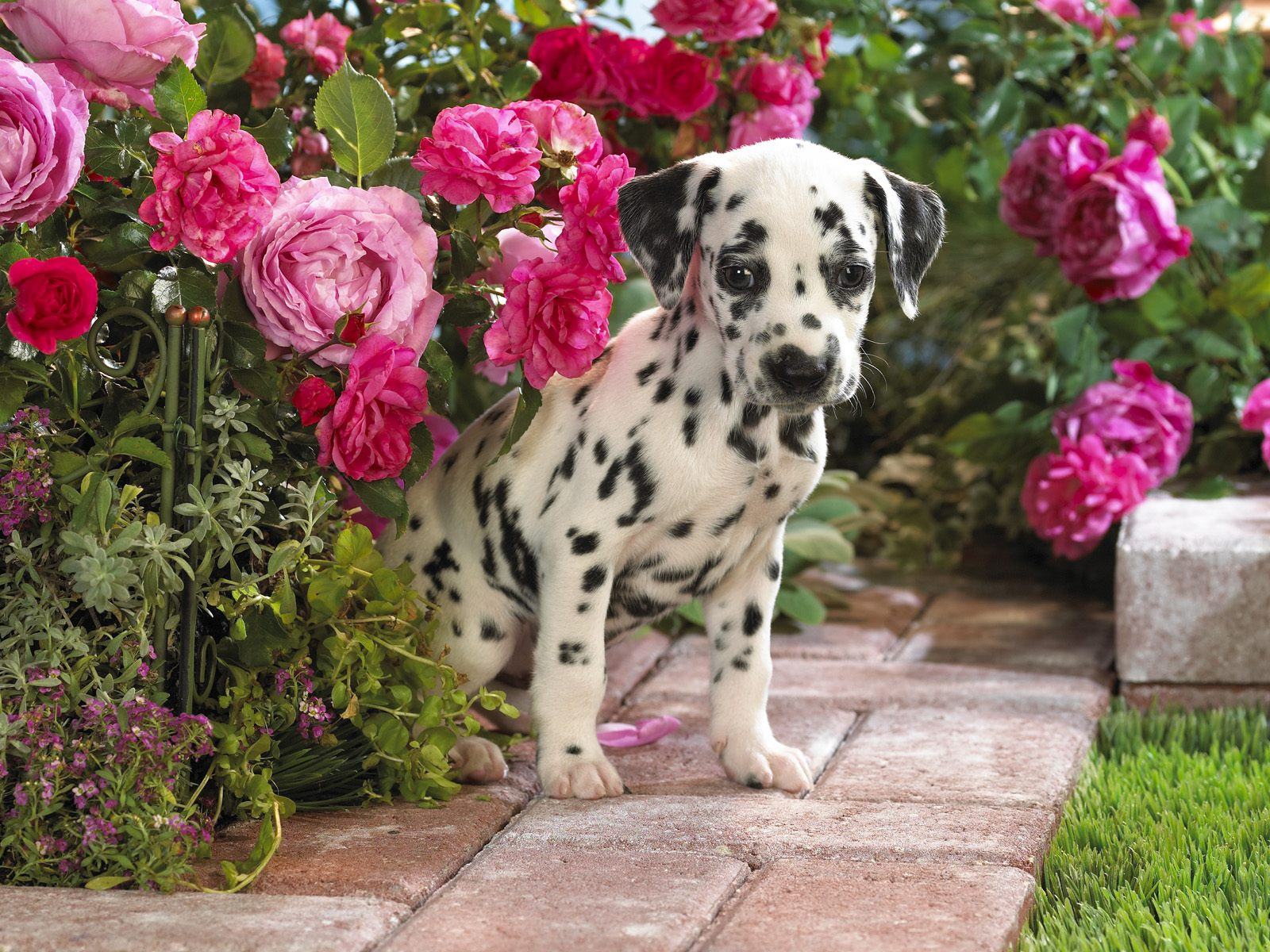 dalmation dog photo | Happy Dalmatian photo and wallpaper ...