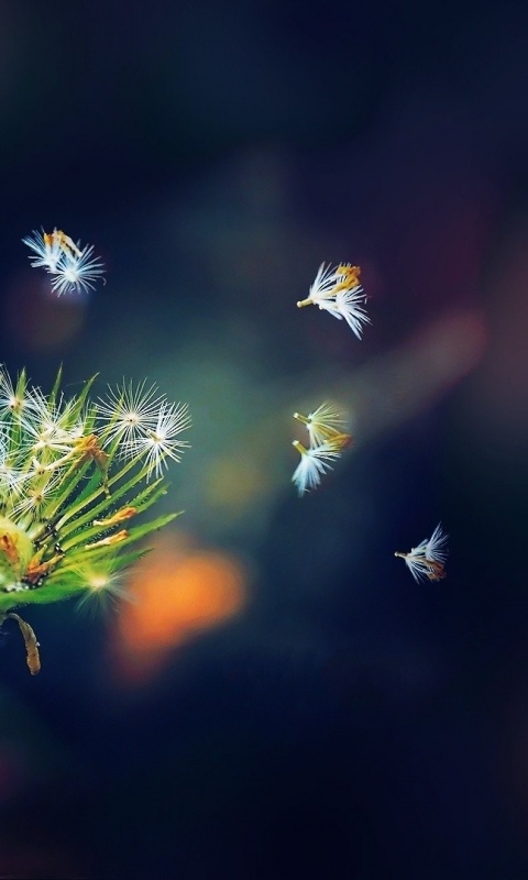 480x800 dandelion seeds macro galaxy s2 wallpaper - Walpepar photos ...