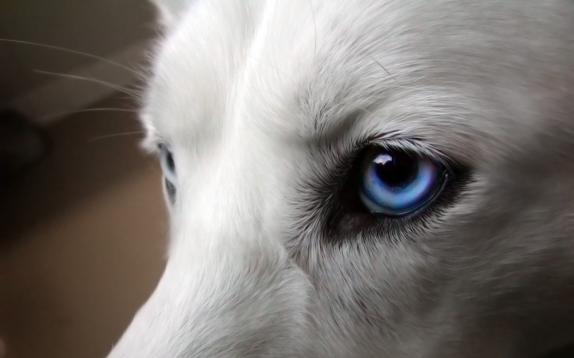 1920x1200 Dog Blue Eyes Macro Desktop Pc And Mac Wallpaper