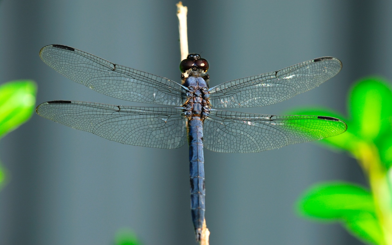 1280x800 Dragonfly On A Stick Desktop Pc And Mac Wallpaper