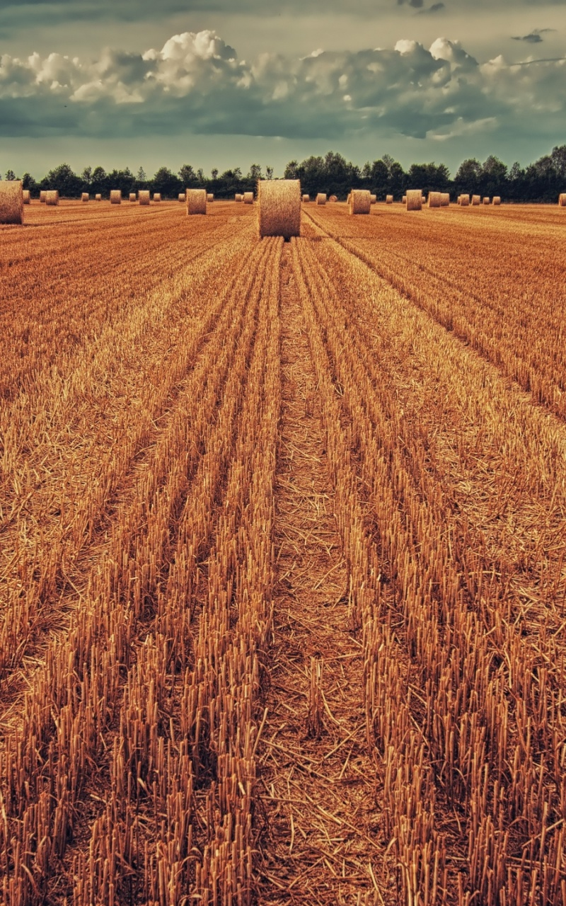 800x1280 field, crop, wheat, hay, grass