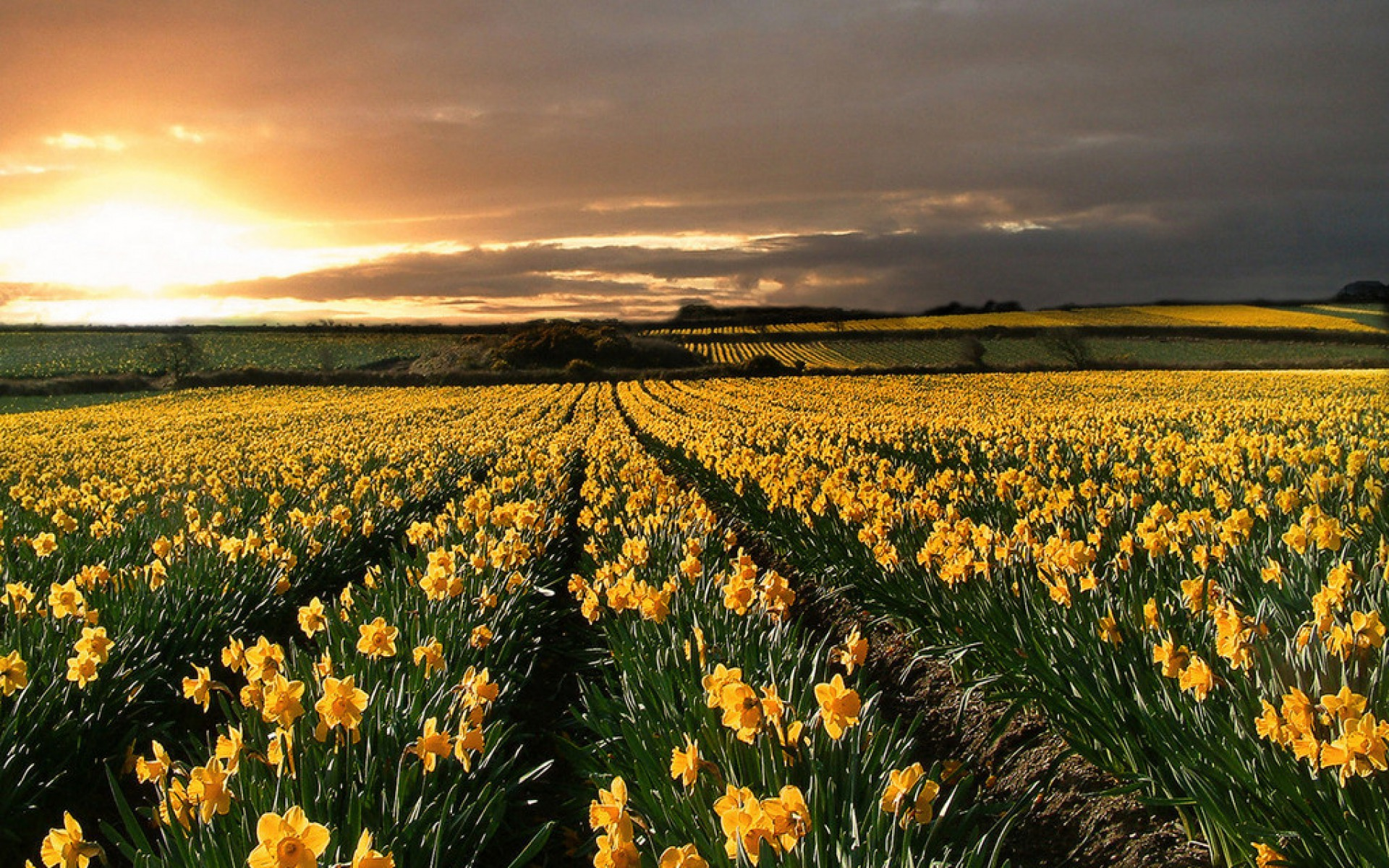field of daffodils wallpapers | field of daffodils stock photos