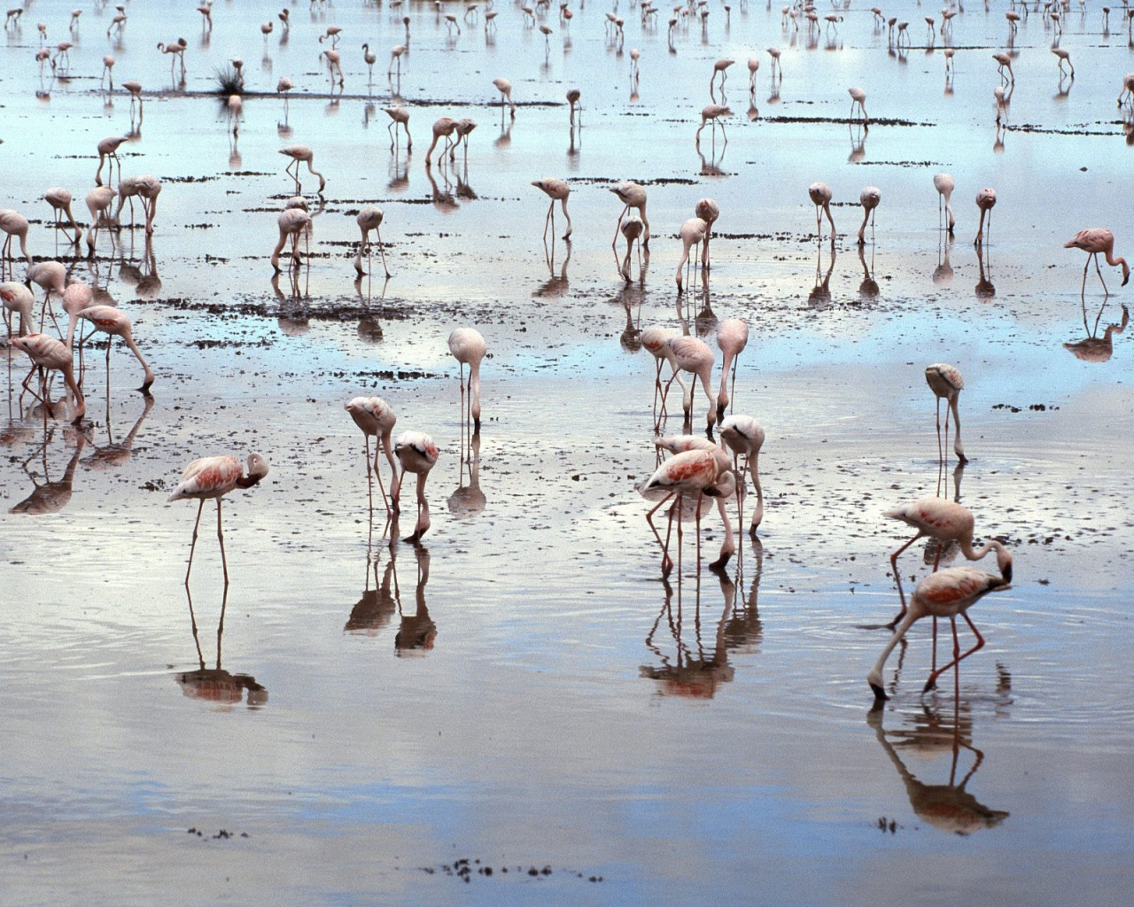 1280x1024 Flamingos on beach