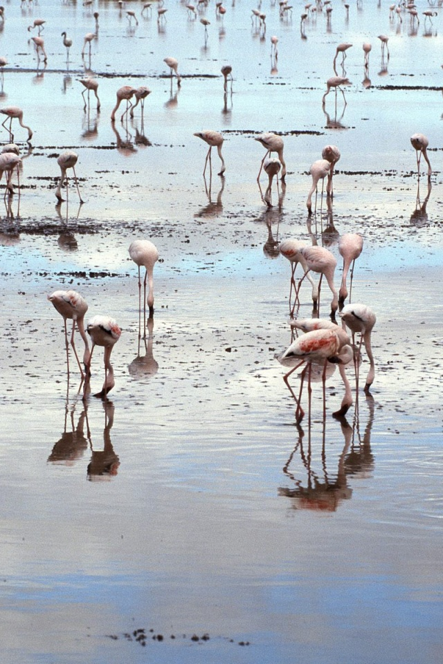 640x960 Flamingos on beach