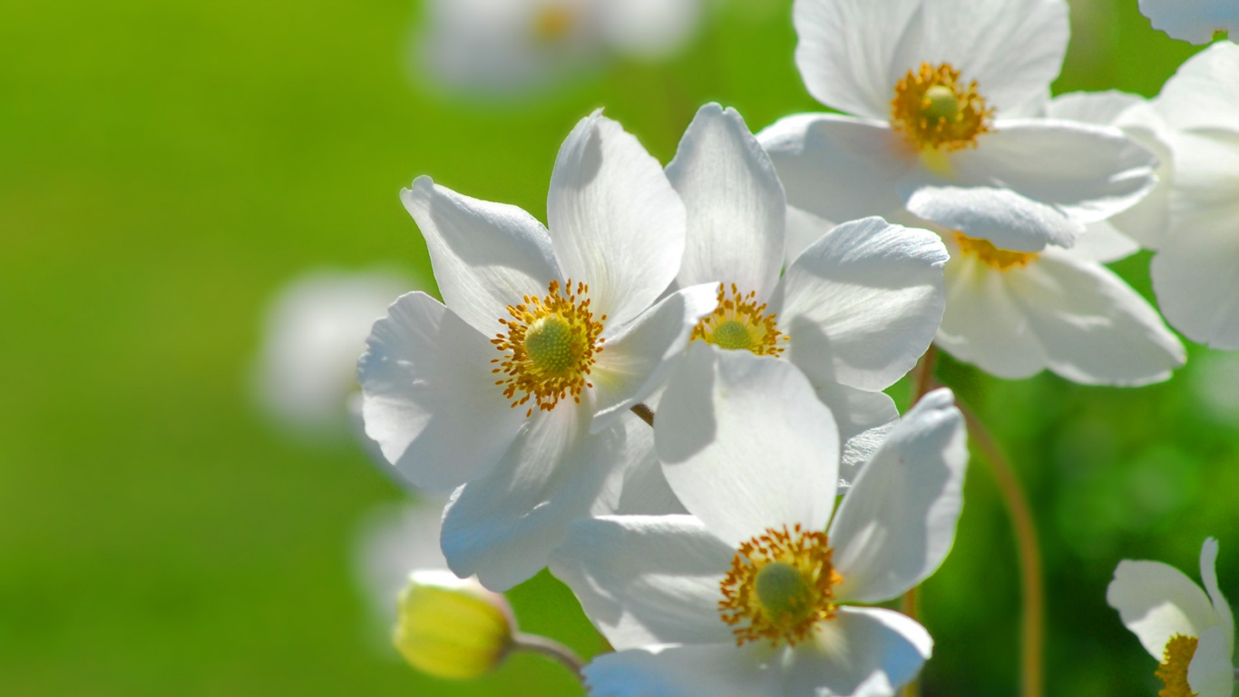 1366x768 Flowers On Gree Desktop PC And Mac Wallpaper