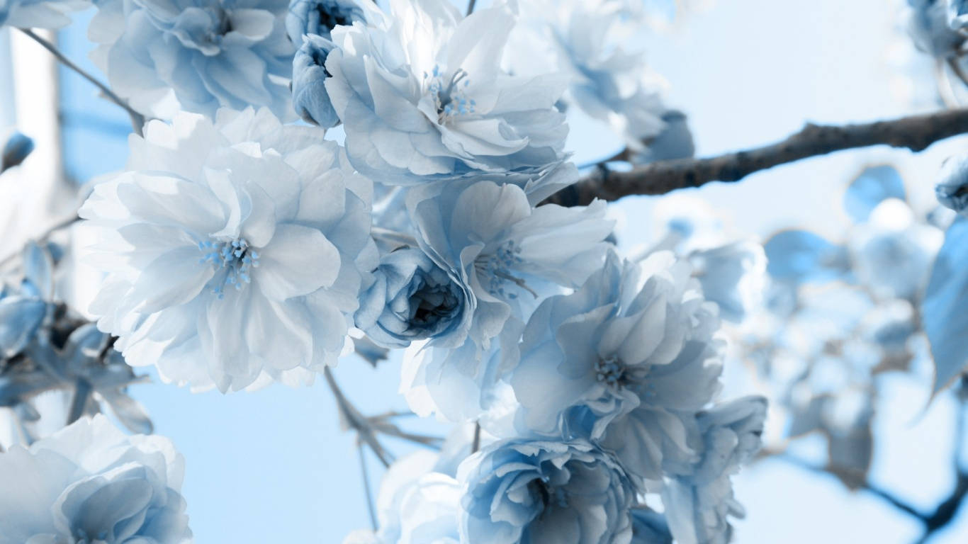 1366x768 Flowers Desktop PC And Mac Wallpaper