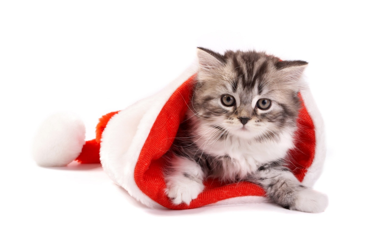 1280x800 Fluffy cat in Santa hat