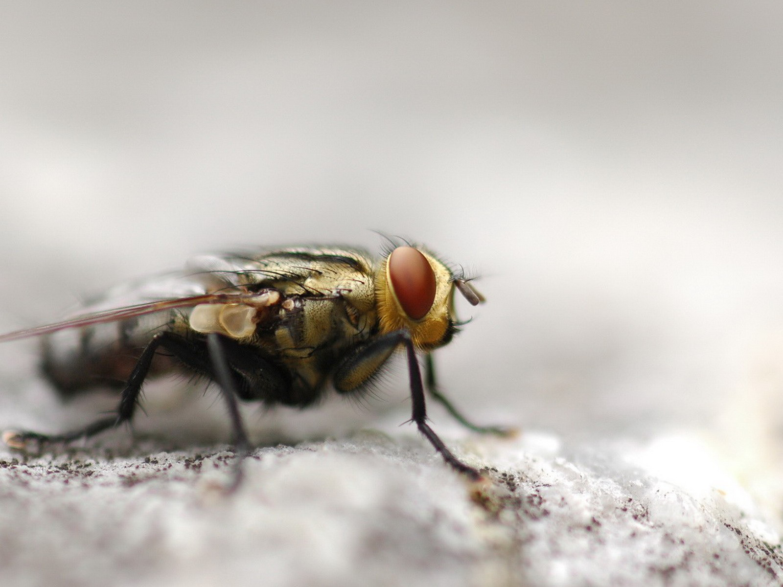 HD wallpaper black common house fly insect wings eyes animal