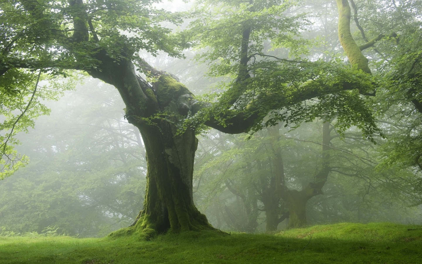 1440x900 forest old green trees desktop pc and mac wallpaper
