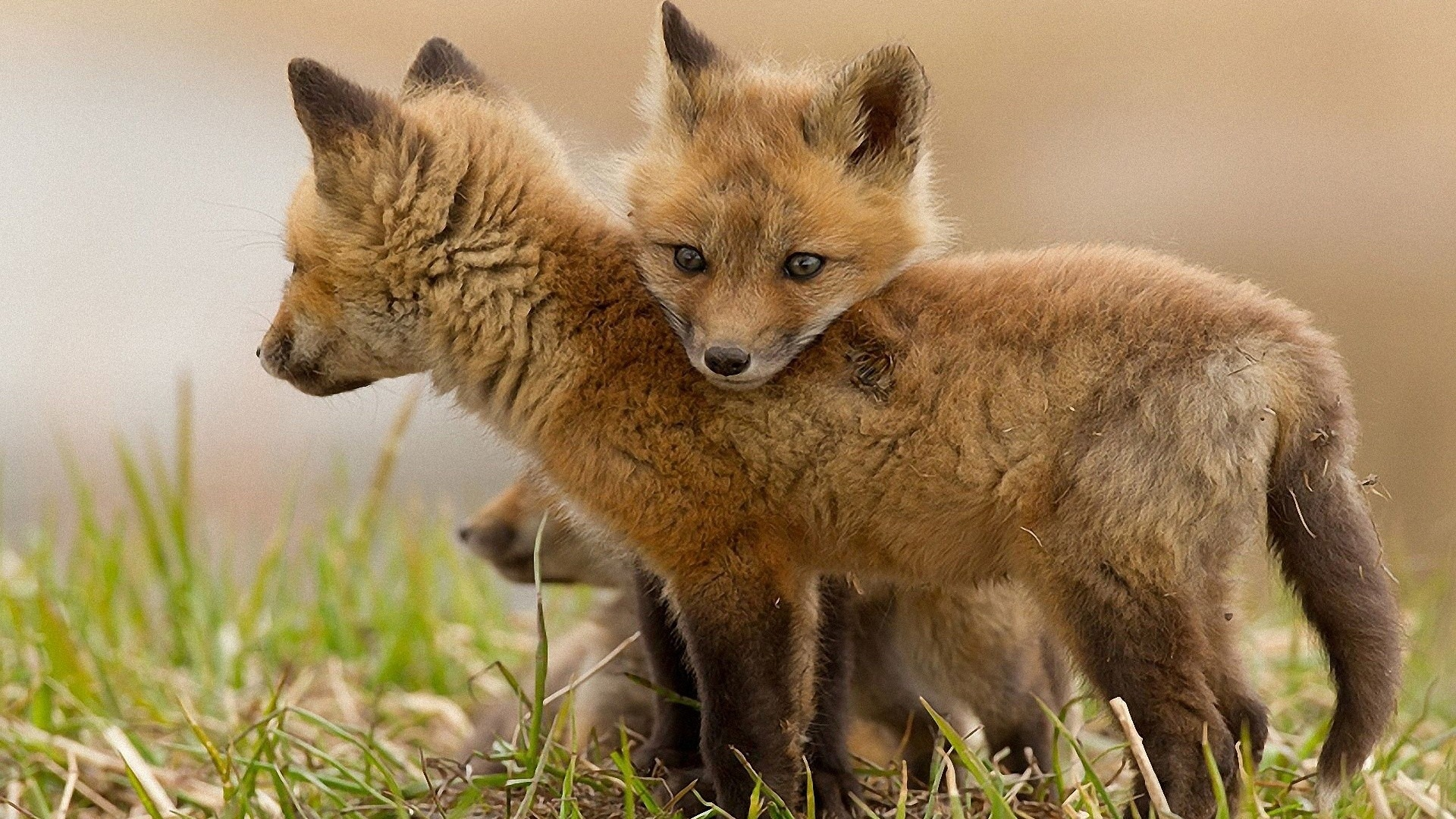 1920x1080 Fox Cubs Desktop PC And Mac Wallpaper
