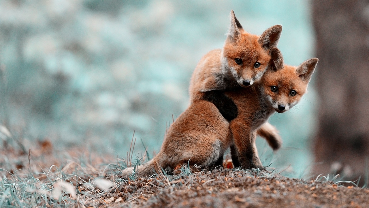 1280x720 Fox Puppies