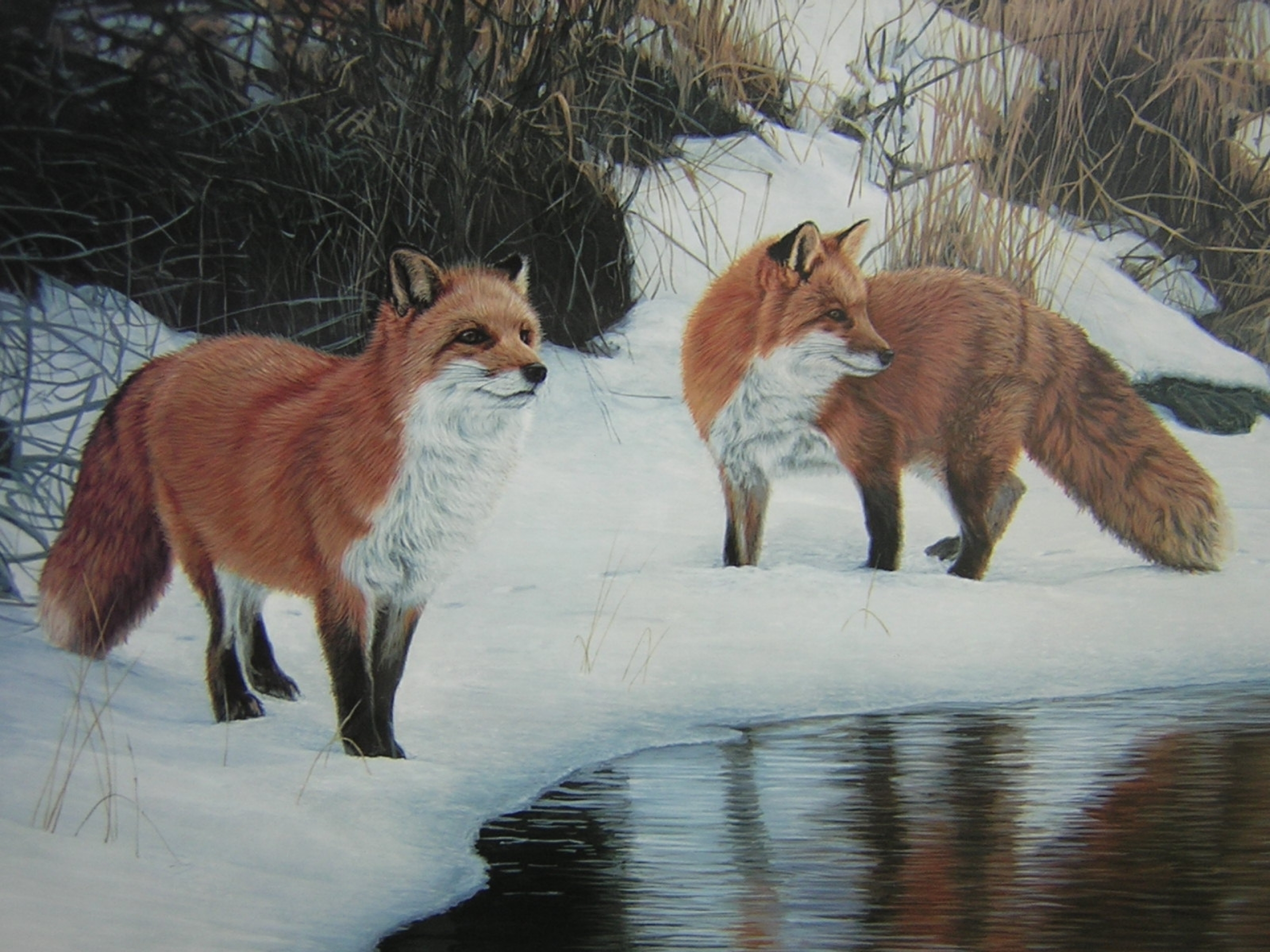 Foxes Snow Water Gras Painting Wallpapers Foxes Snow