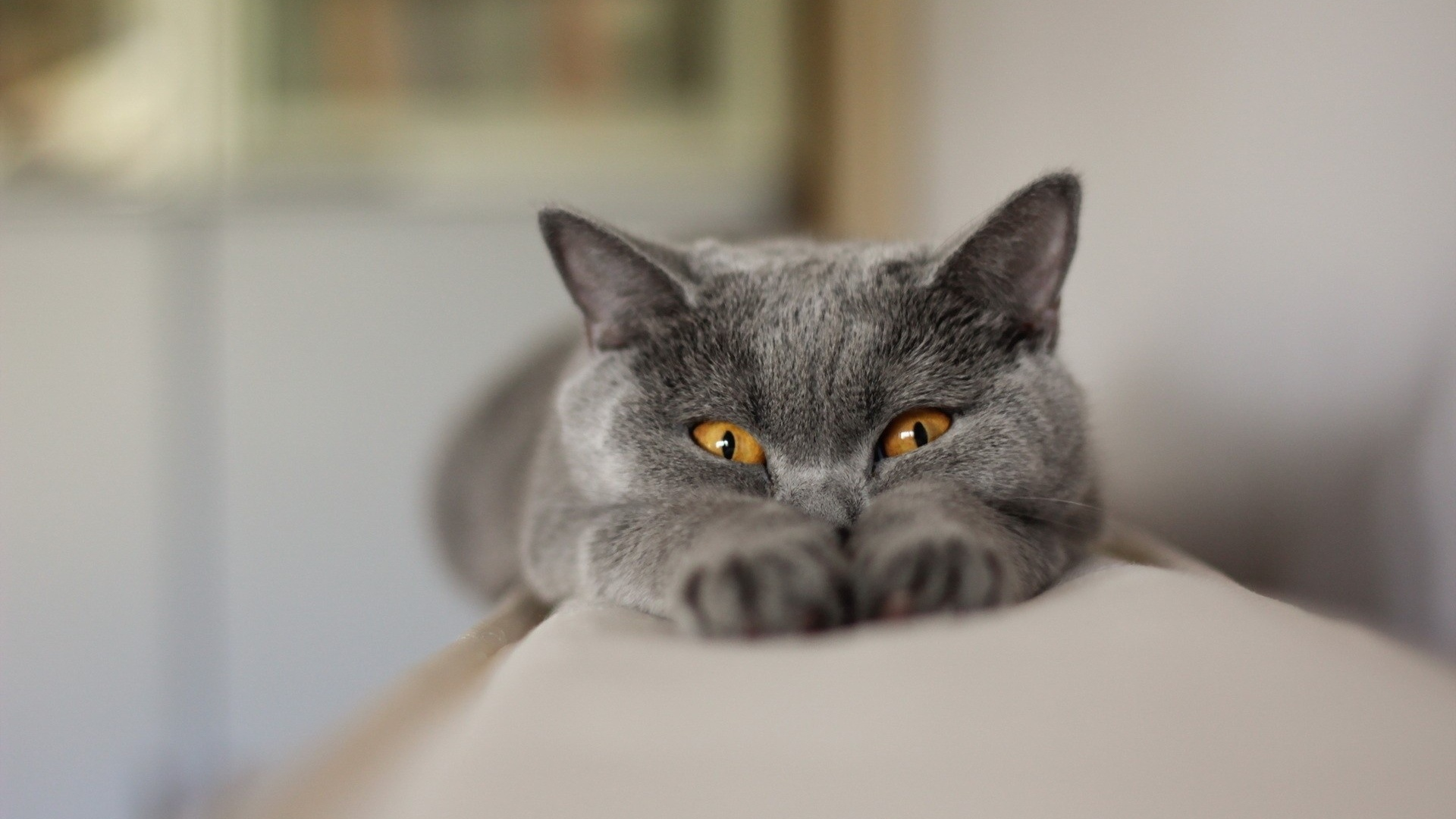 1920x1080 gray cat stretching desktop pc and mac wallpaper