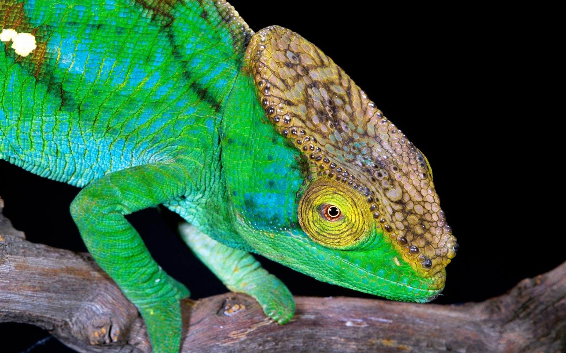 green chameleon widescreen wallpaper - photo #5
