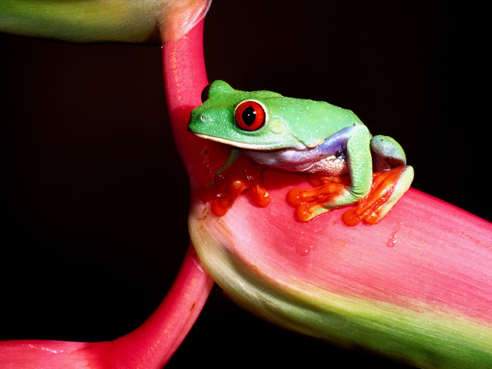 1600x1200 Green little frog desktop wallpapers and stock photos