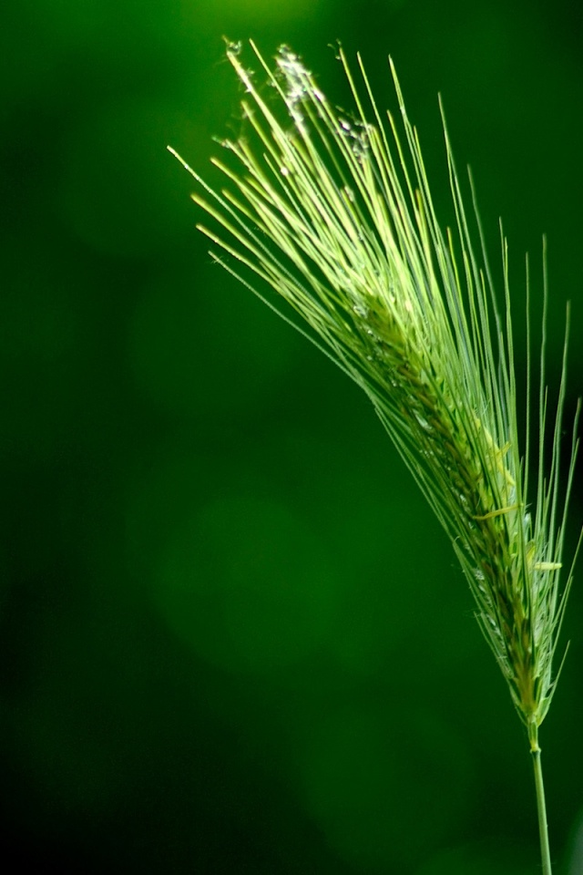 640x960 Green wheat