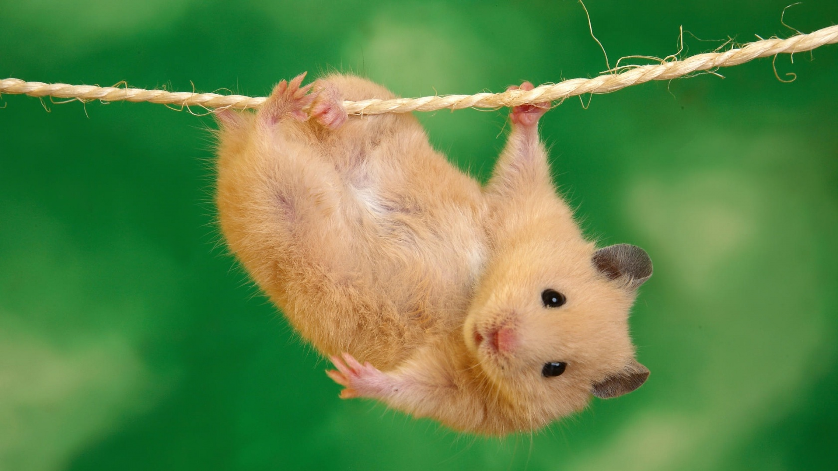 1680x1050 Hanging hamster desktop wallpapers and stock photos
