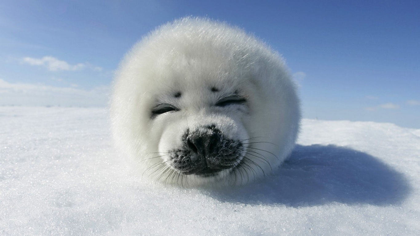 1366x768 Harp Seal Pup desktop PC and Mac wallpaper
