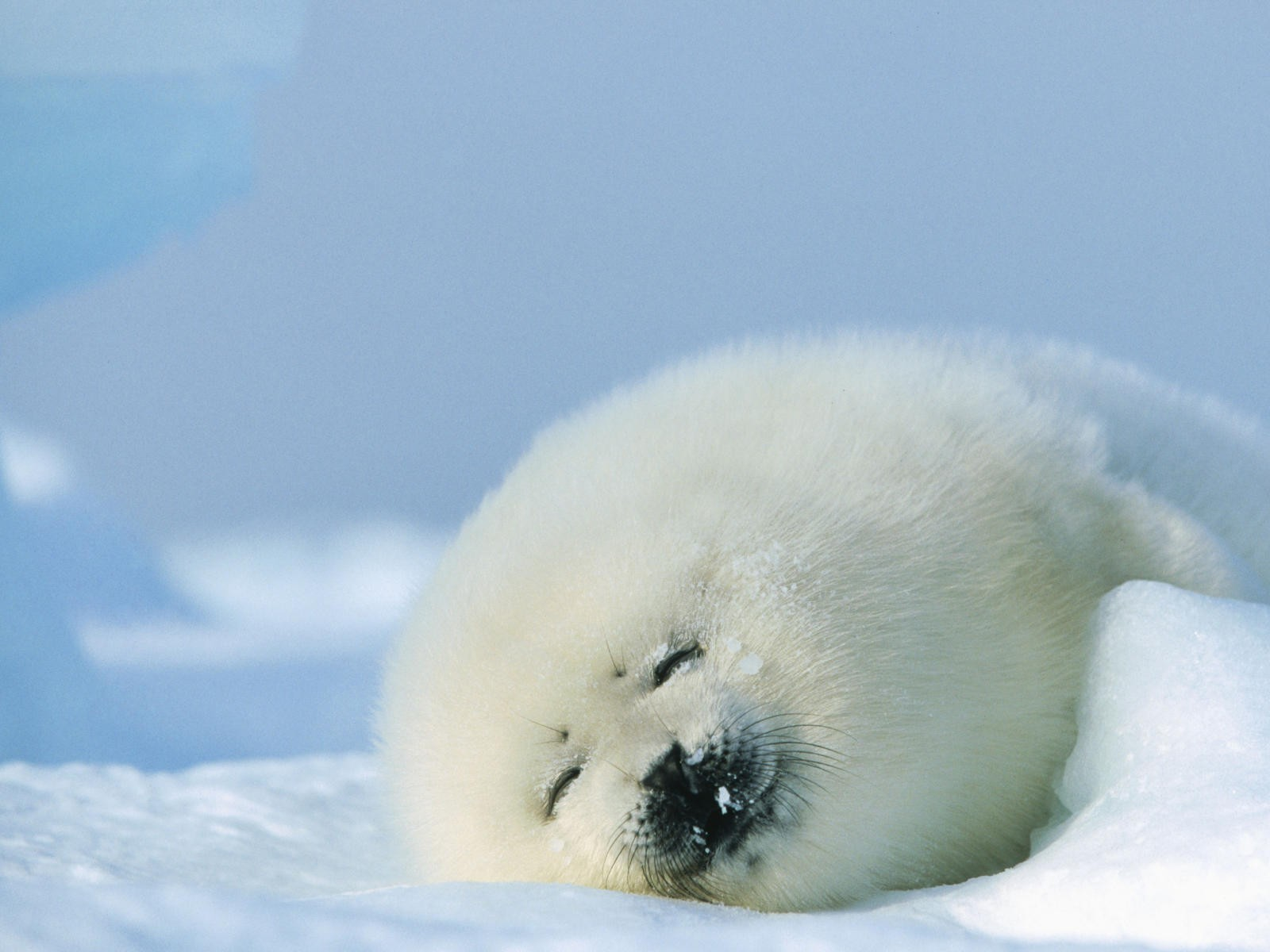 1600x1200 Harp Seal desktop PC and Mac wallpaper
