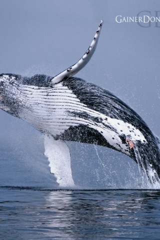 320x480 Humpback Whale Iphone 3g Wallpaper
