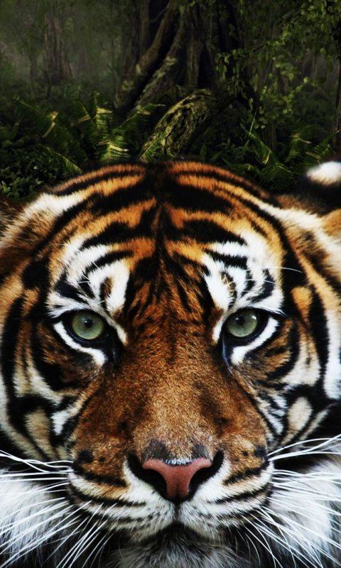 480x800 Jungle Tiger