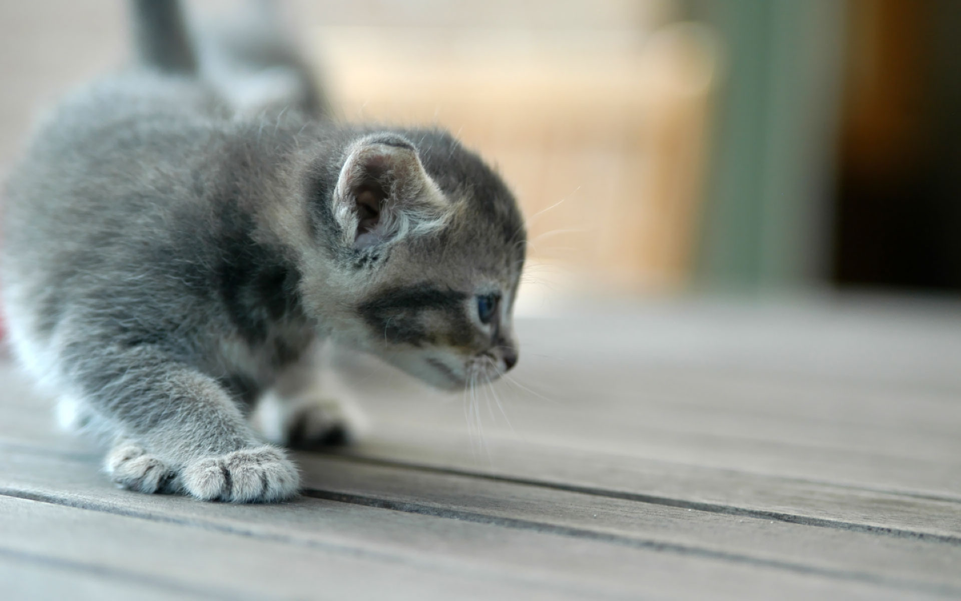 1920x1200 Kitten scouting desktop wallpapers and stock photos