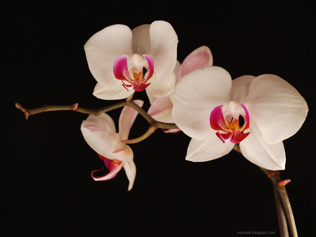 1024x768 Late night orchids desktop wallpapers and stock photos