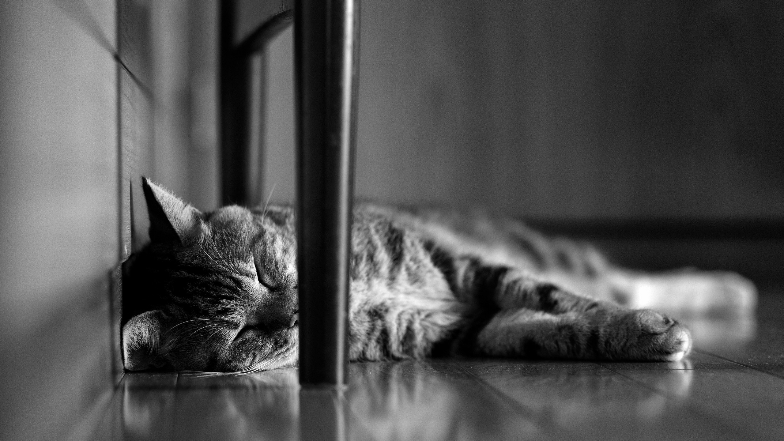2560x1440 Lazy Cat Desktop Pc And Mac Wallpaper