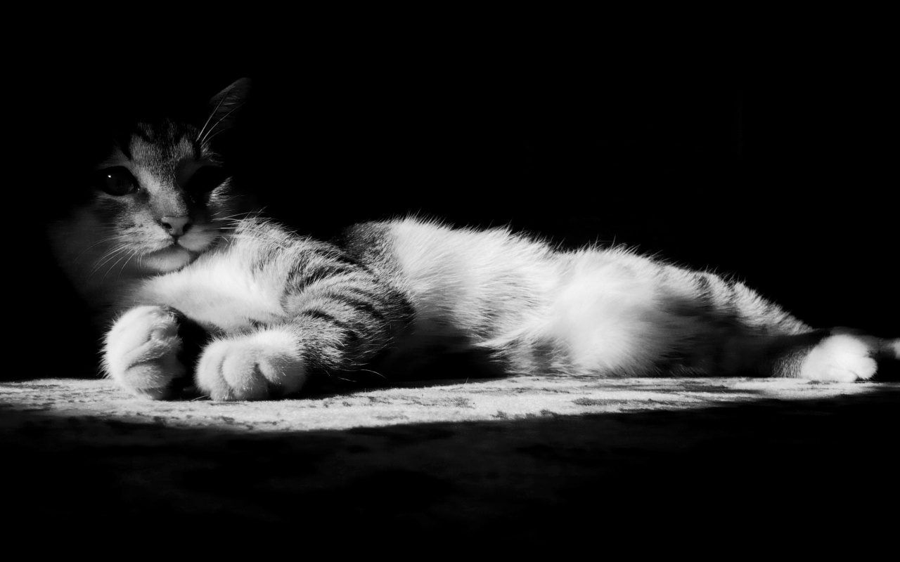 1280x800 lazy kitten in black and white desktop pc and mac wallpaper