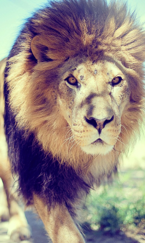 480x800 Lion at the Zoo desktop PC and Mac wallpaper