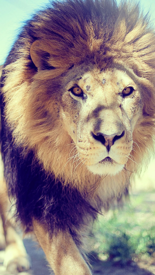 lion iphone wallpaper - photo #7