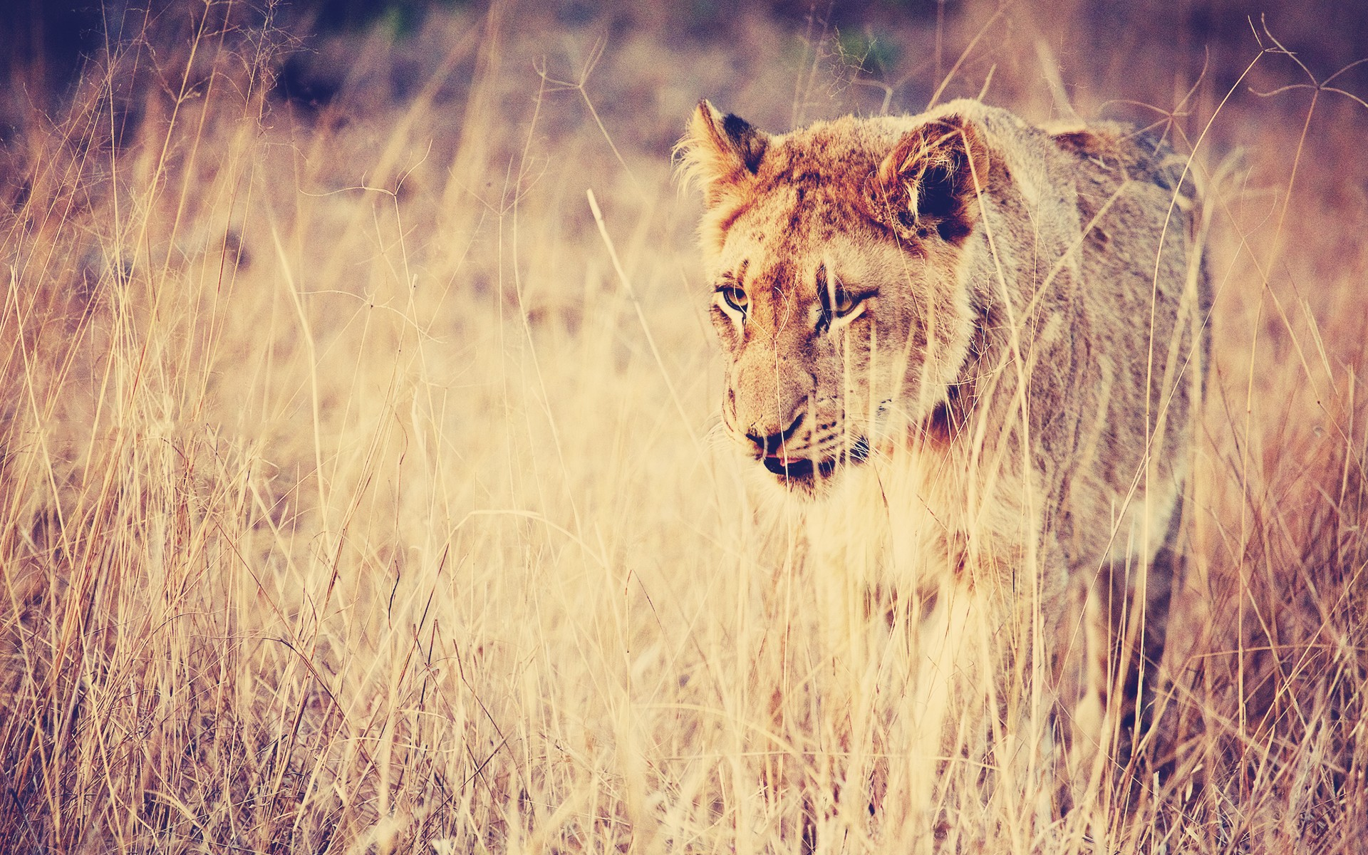 Lioness HD Wallpapers Backgrounds