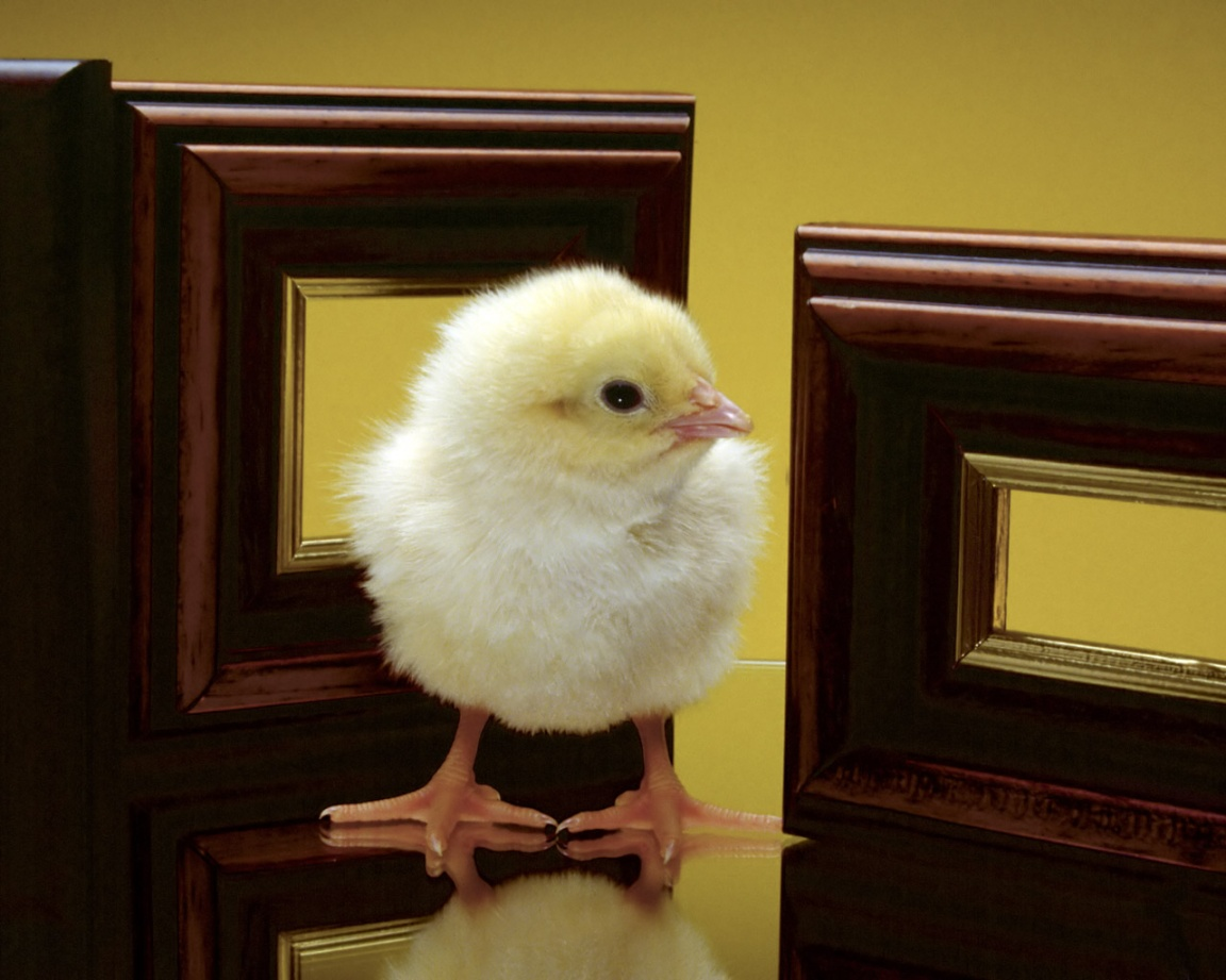 1152x864 Little Chicken desktop wallpapers and stock photos