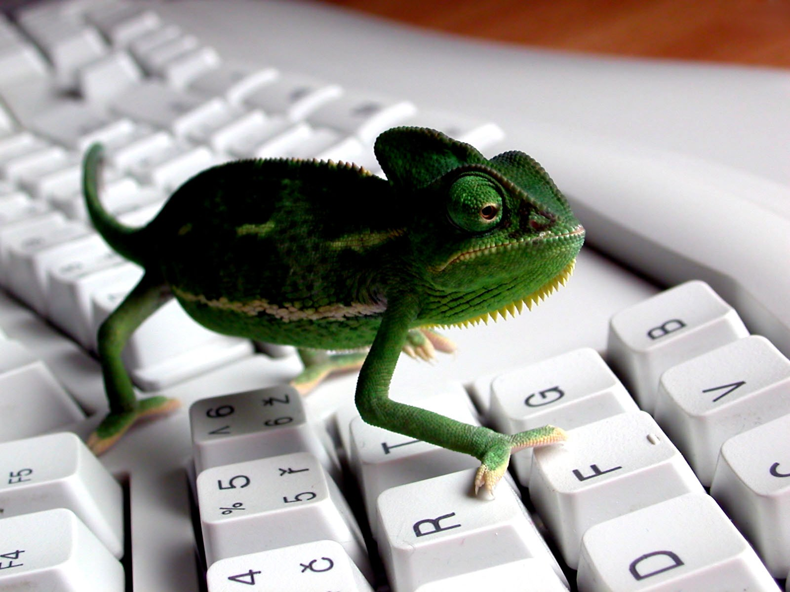 1600x1200 Lizzard on keyboard desktop wallpapers and stock photos