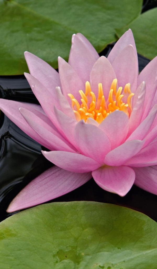 600x1024 lotus flower galaxy tab 2 wallpaper mightylinksfo