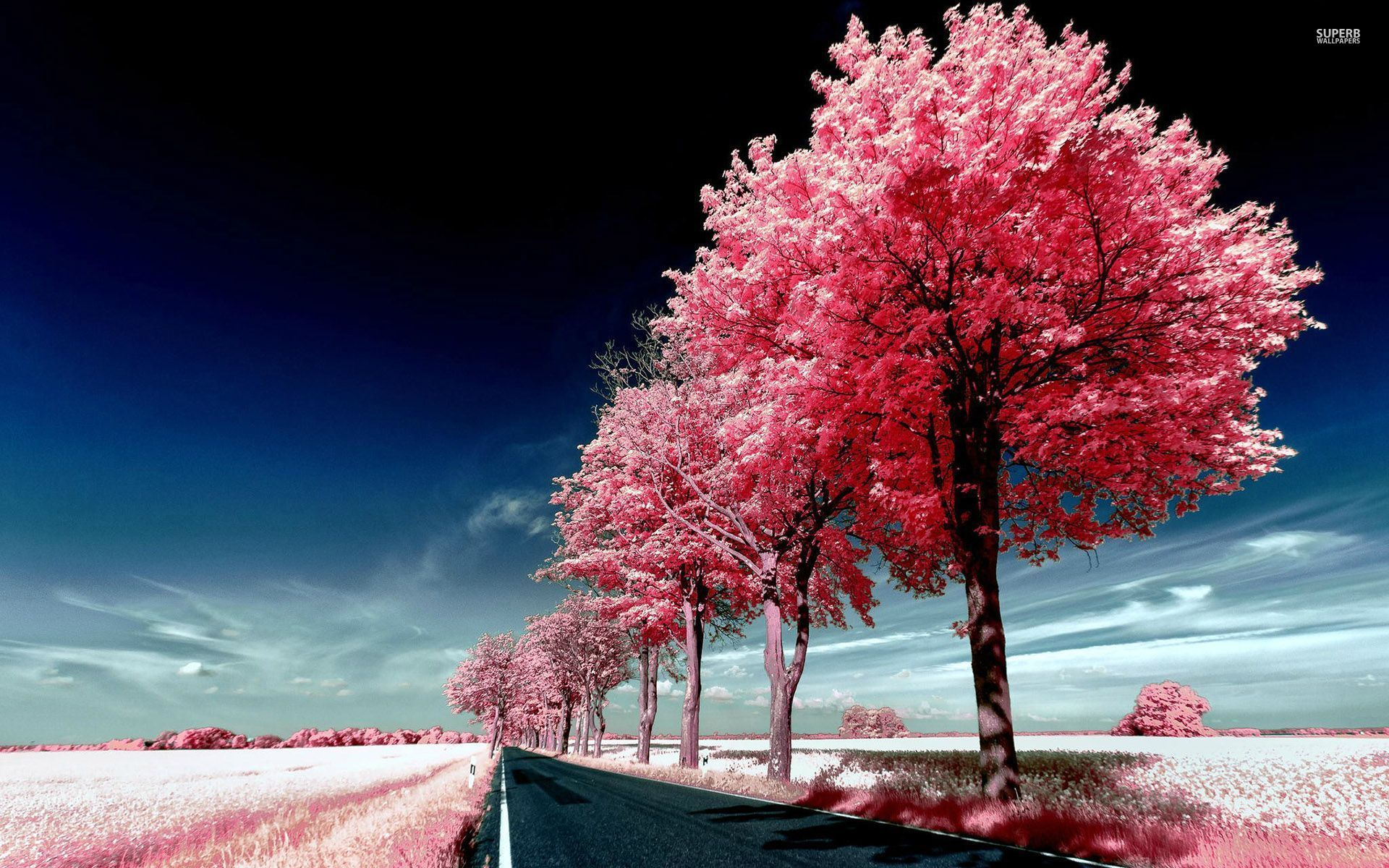 Lovely Pink Trees wallpapers   Lovely Pink Trees stock photos