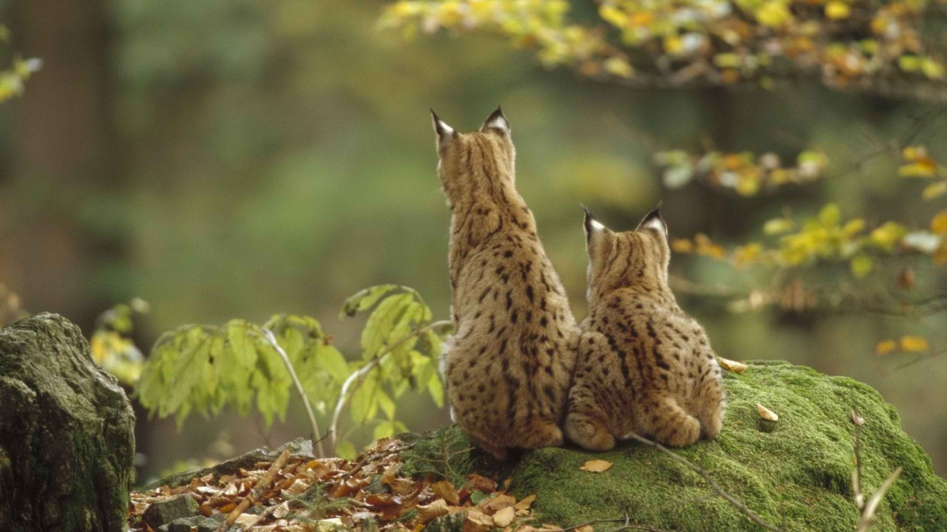 1366x768 Lynxes In Nature