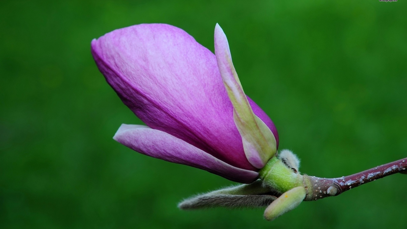 1366x768 Magnolia, flower, flowers