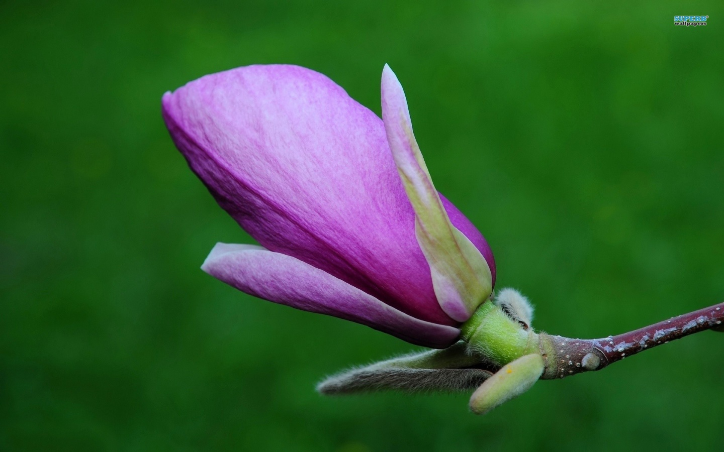 1440x900 Magnolia, flower, flowers