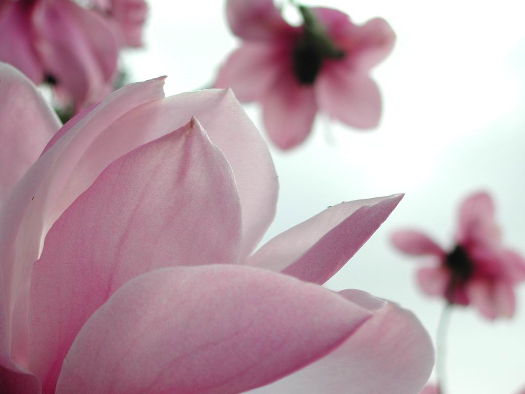 1024x768 magnolia flower desktop pc and mac wallpaper