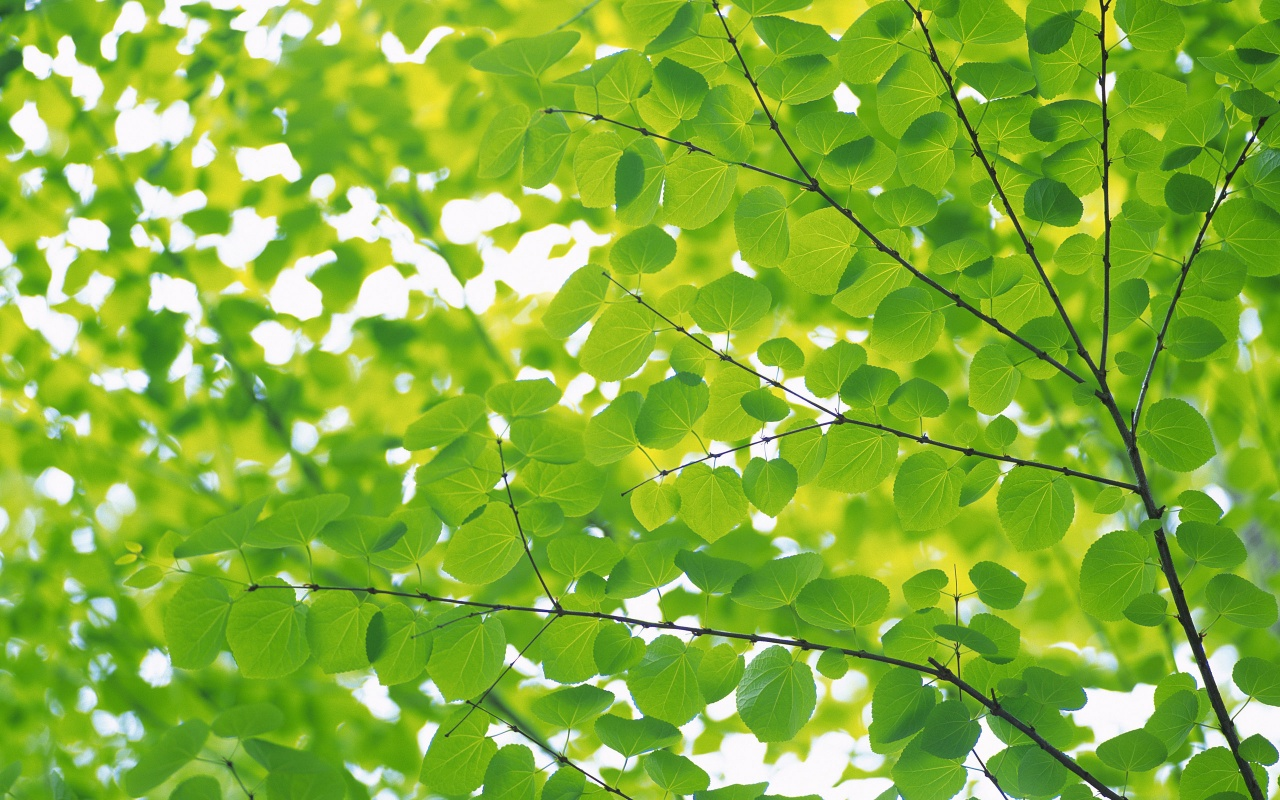 1280x800 Many Round Leaves Desktop Pc And Mac Wallpaper