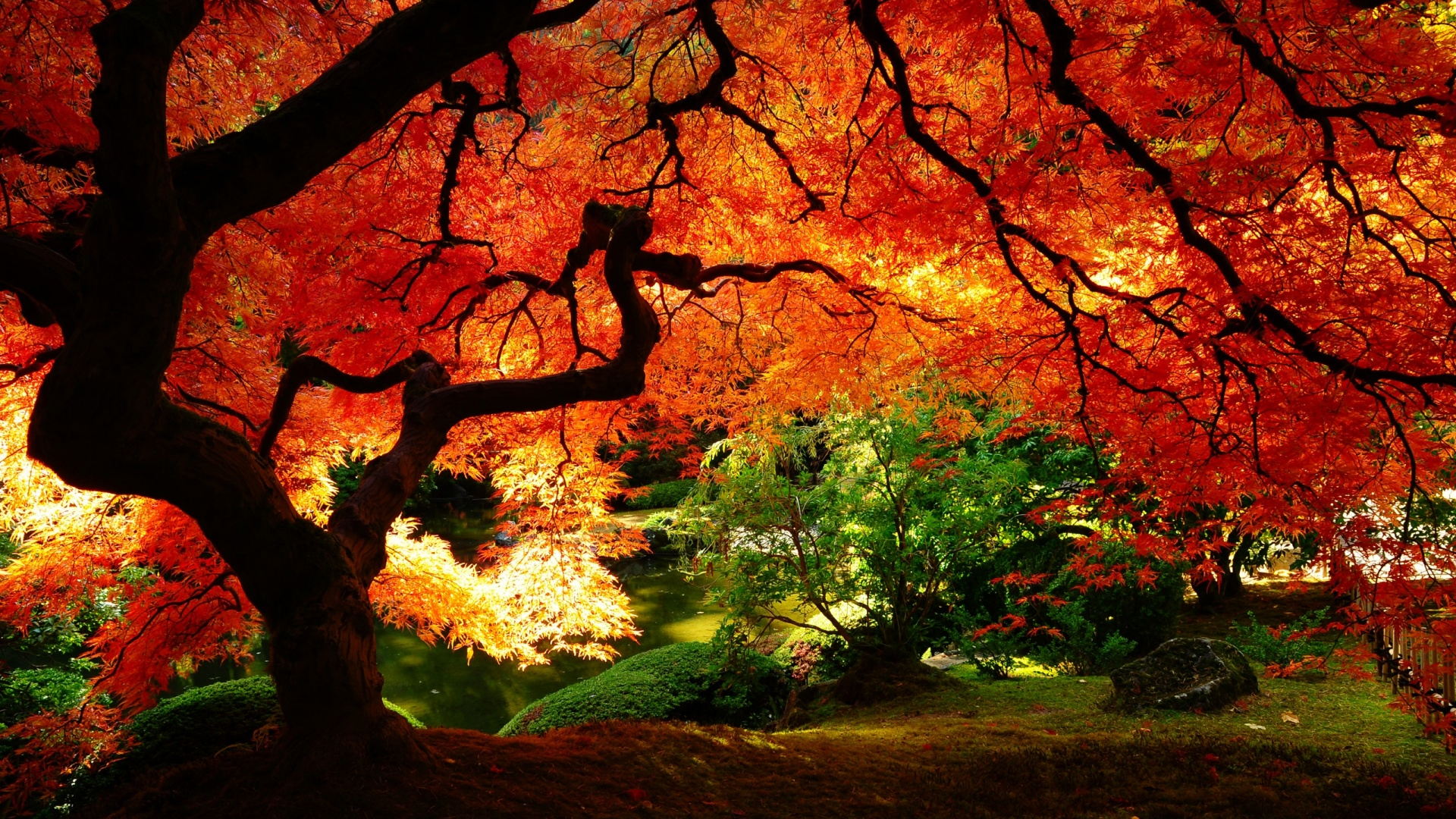 1920x1080 Maple in Autumn