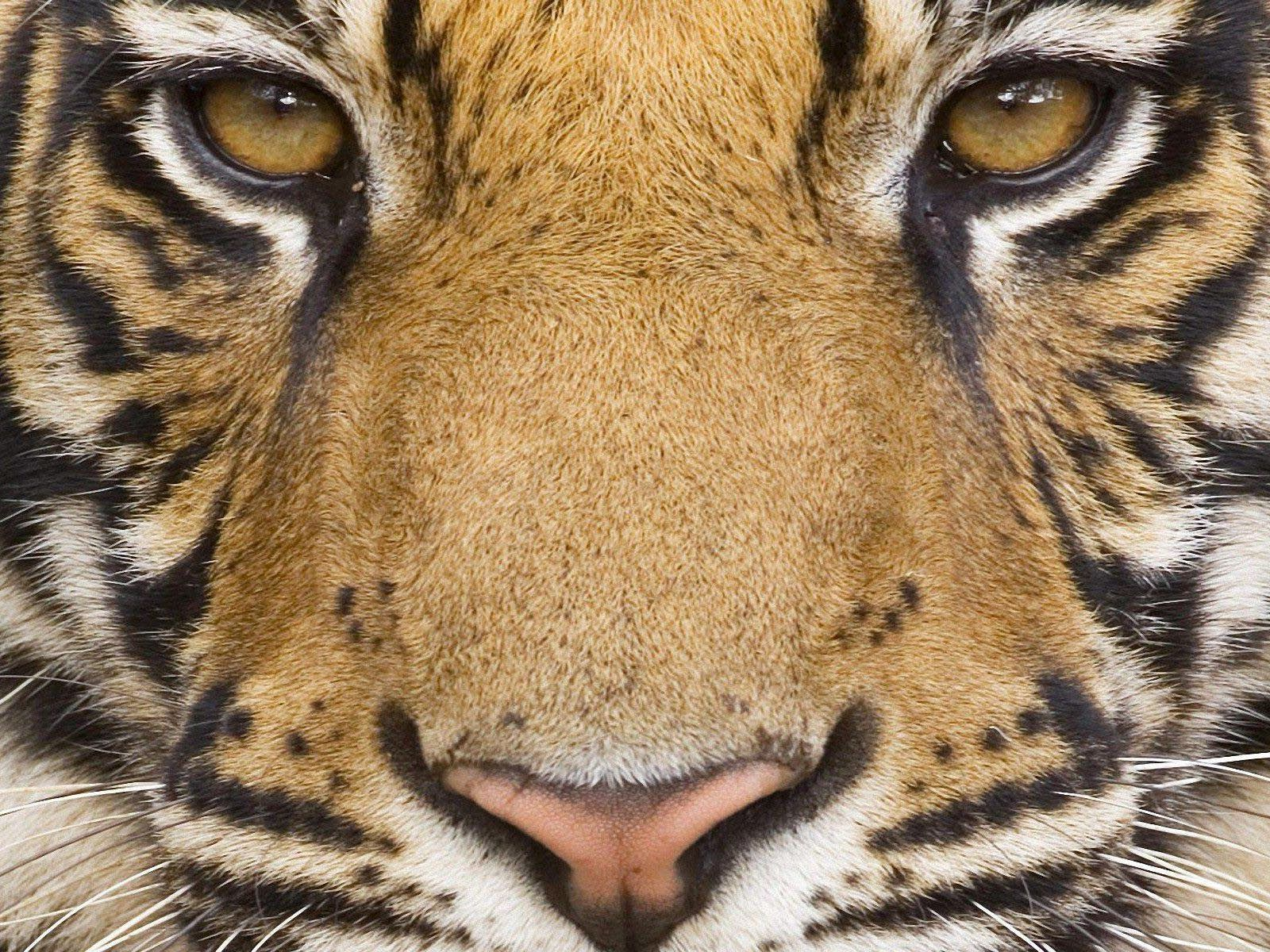 Fantastic Wallpaper Mac Tiger - mighty-tiger_wallpapers_33506_1600x1200  Photograph_67725.jpg
