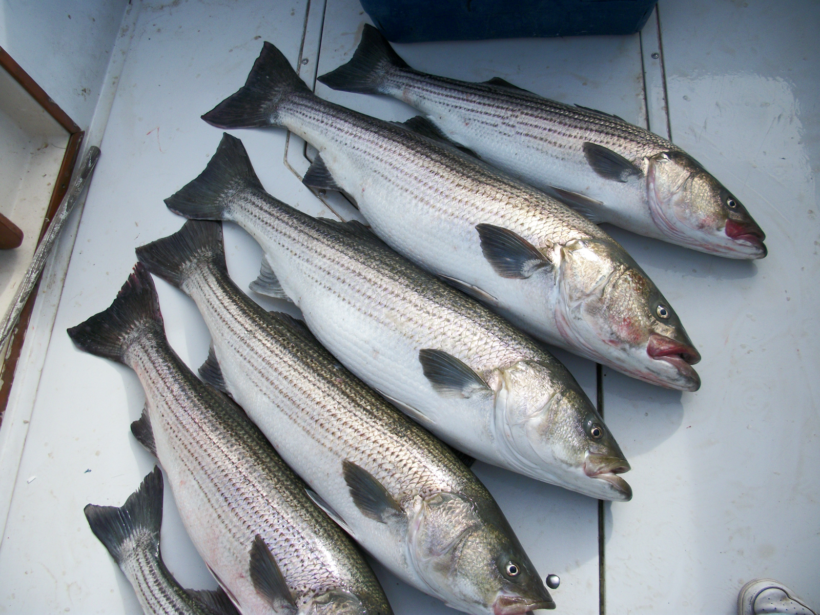 1600x1200 more delaware bay striper fish desktop pc and for Striper fish pictures